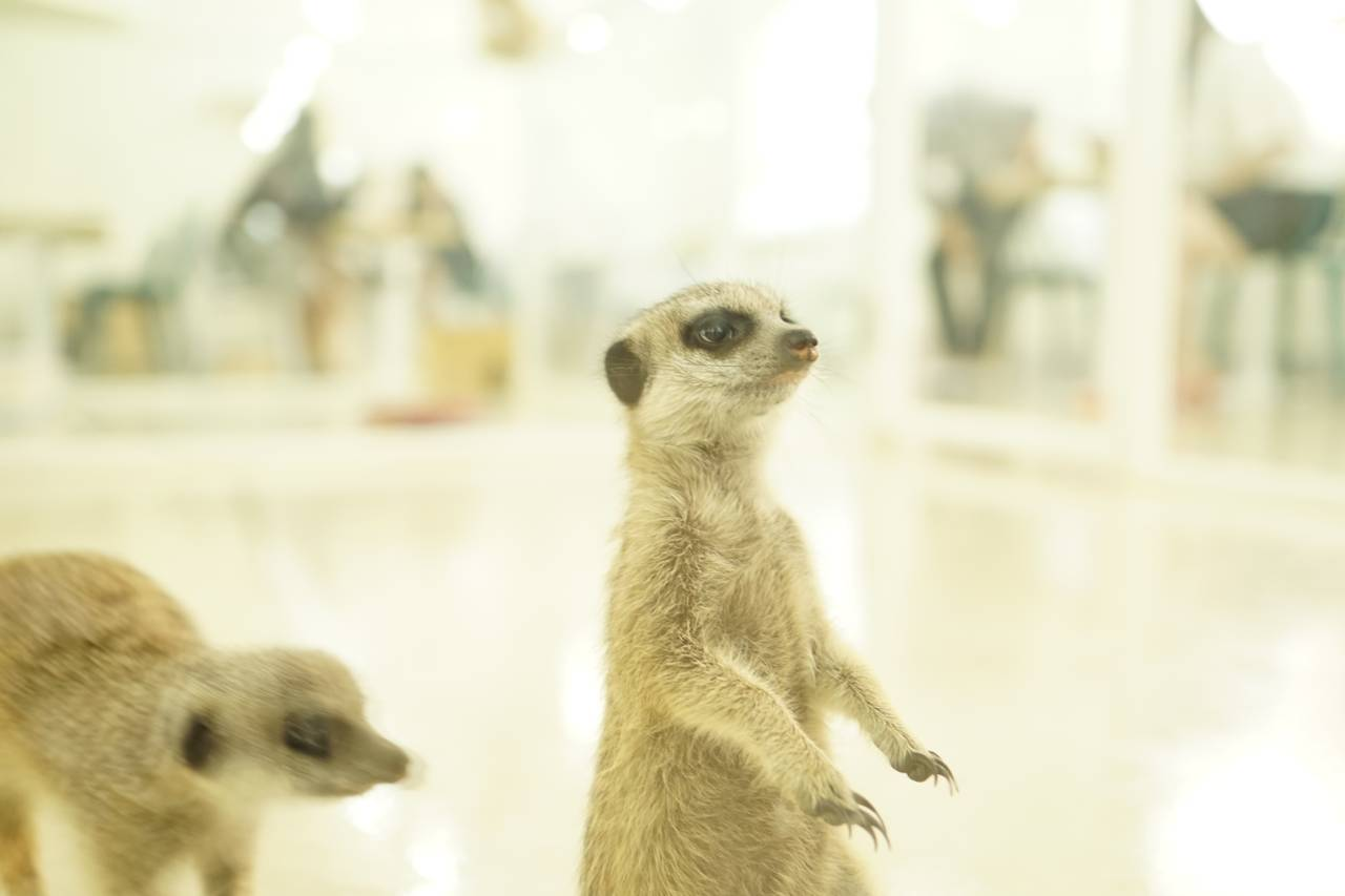 South Korea Travel Animal Cafe Unique Experience Animal Lovers Coffee Kids Meerkat